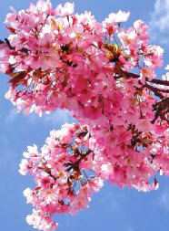 The History of Cherry Blossom Festival