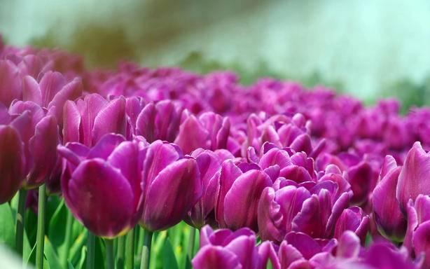 1-Day Mother's Day, Tulip Festival, Washington Park Tour