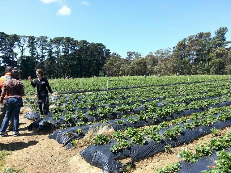 Mornington Peninsula Tour with Strawberry Farm