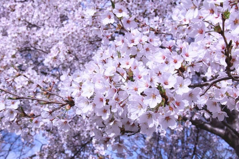 2-Day Washington, D.C. Cherry Blossom Tour from NY/New Jersey