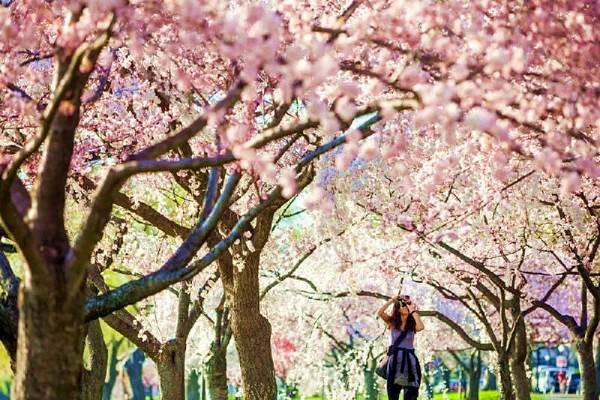 2 Day Washington D C Cherry Blossom Festival Bus Tour