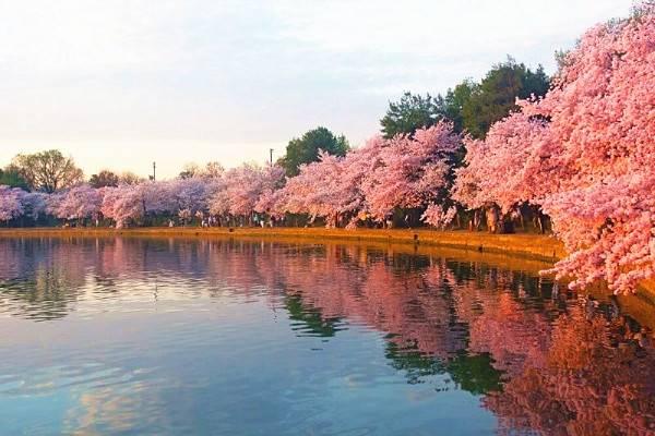 2 Day Dc Cherry Blossoms And Hersheys Chocolate World Tour