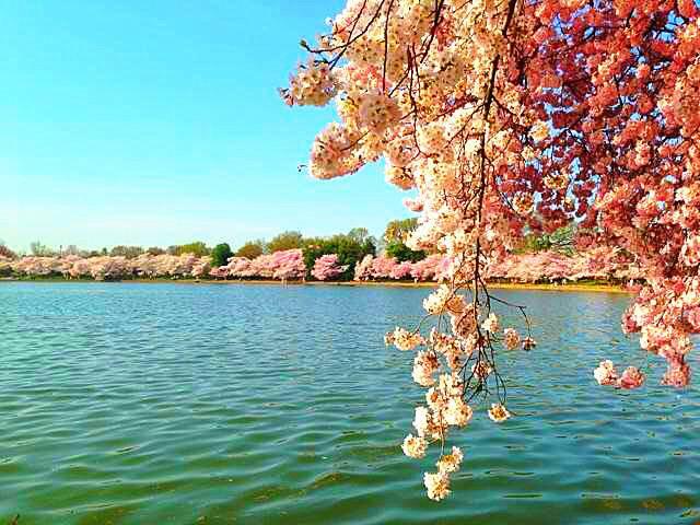 2-Day Washington, D.C. Cherry Blossom Festival Bus Tour from NY/New Jersey