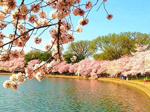 3 Day Washington Dc Cherry Blossom Tour From Toronto