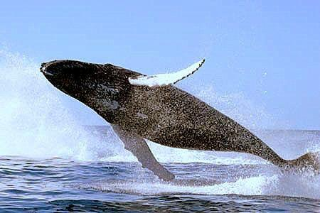 2-Hour Gray Whale & Dolphin Cruise