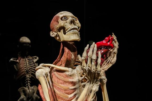 The Original Exhibition to Body Worlds: Pulse Ticket