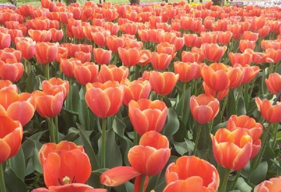1-Day Mother's Day Albany-Tulip Festival Tour