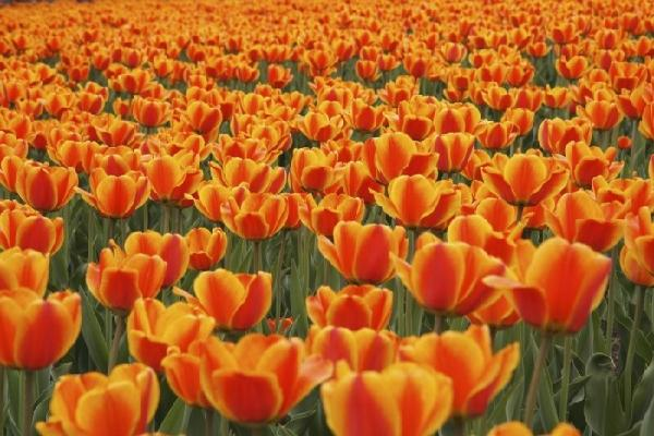 2-Day Canadian Tulip Festival Tour in Ottawa From Boston