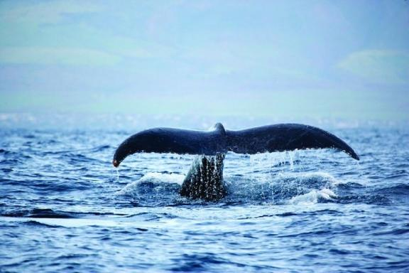 Whale Watching on West Oahu Coast