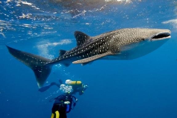 2-Hour Dive with Whale Sharks