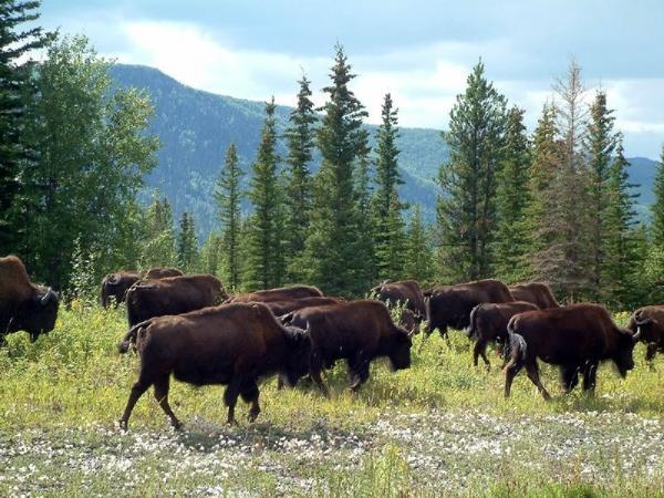 Wildlife and Buffalo Tour