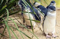 phillip island tour:1-Day Phillip Island Penguin Parade Tour