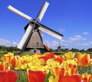 Tulips Of Northern Holland
