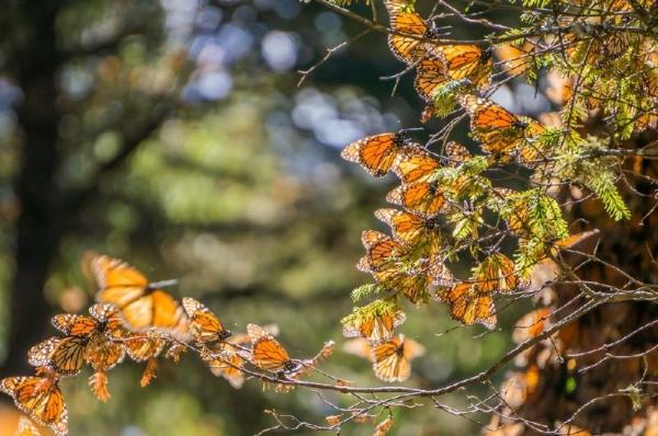 10-Day Mexico Monarch Butterfly Trail