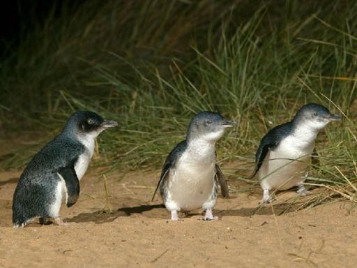 The Penguin Parade Tour