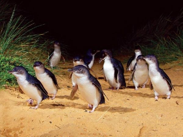 Phillip Island Penguin VIP Tour