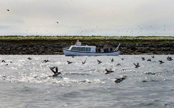 1-Hour Puffin Watching Express Boat Tour