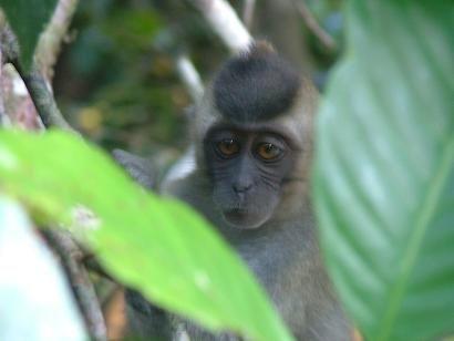 Sepilok Orangutan Centre & Rainforest Discovery Centre Day Tour