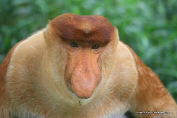 Labuk Bay Proboscis Monkey Sanctuary Half Day Tour