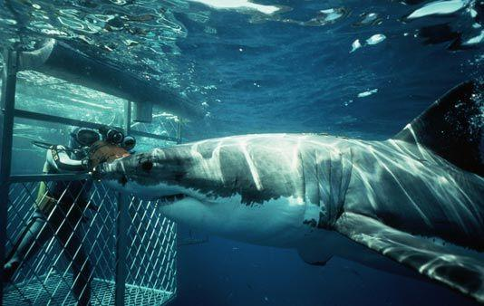 Shark Cage Diving Private Tour