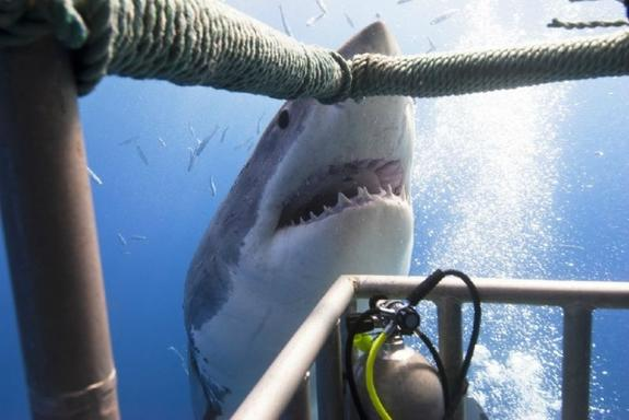 Gansbaai Great White Shark Cage Diving