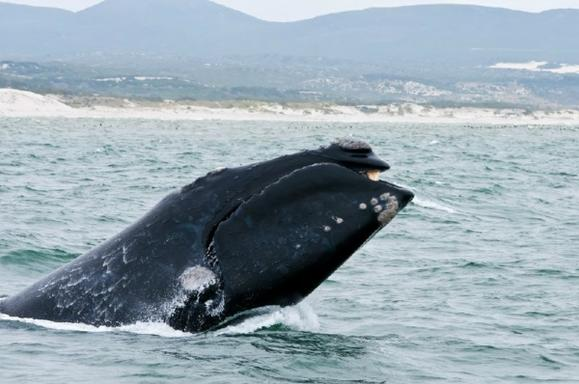 1 Day Private Cape Whale Watching and Wine Tour
