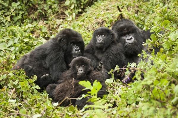 3-Day Rwanda Gorilla Trekking Safari & Kigali Tour