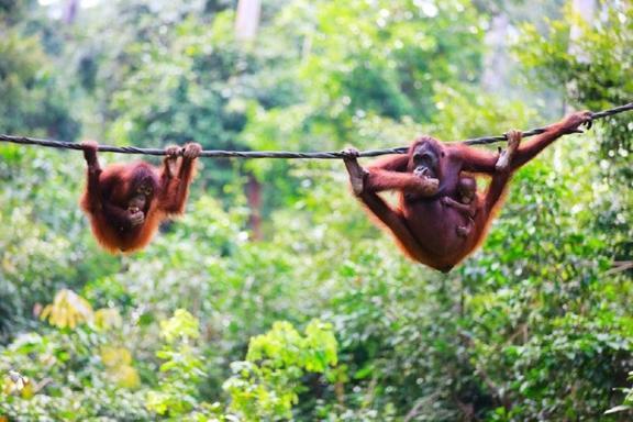 Sepilok Orangutan Centre Half Day Tour from Kota Kinabalu