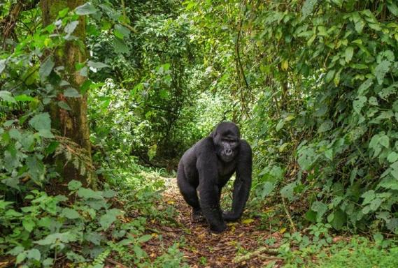 4-Day Uganda Chimps and Gorilla Safari