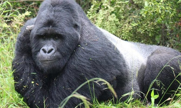 5-Day Gorilla and Chimp Trekking Bwindi & Kibale