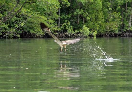 Langkawi Mangrove River Cruise W/ Eagle Feeding