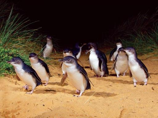 Penguin Parade Day Tour W/ Premium Viewing