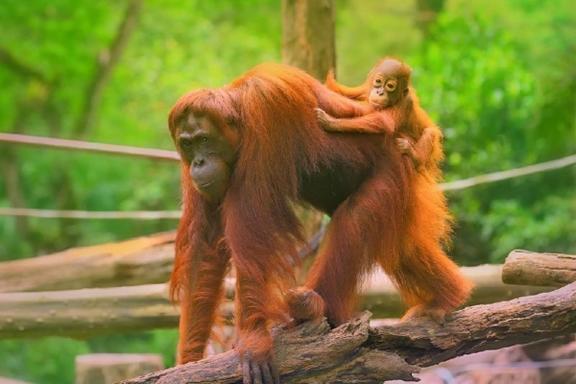 Sepilok Orangutan Centre & Colonial Sandakan Day Tour from Kota Kinabalu