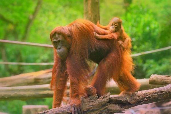 Sepilok Orangutan Centre & Colonial Sandakan Day Tour