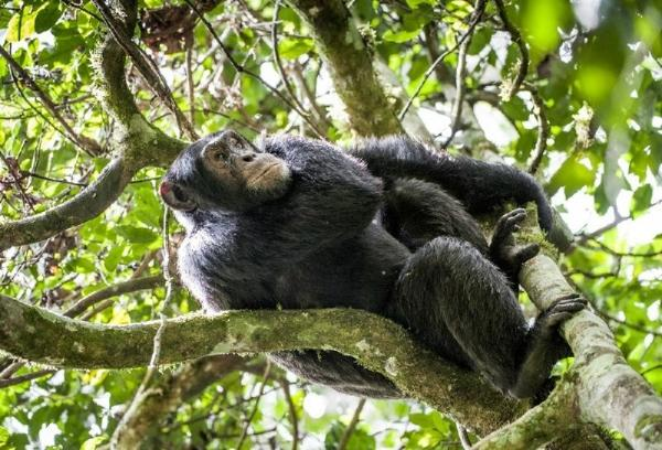 6-Day Uganda Gorilla and Chimp Habituation Safari