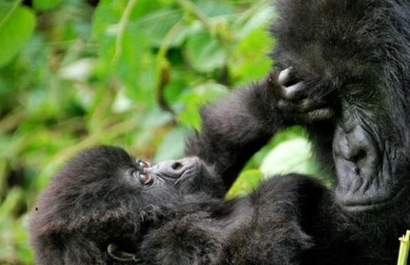 5-Day Chimp and Gorilla Trekking: Bwindi & Kibale National Forest