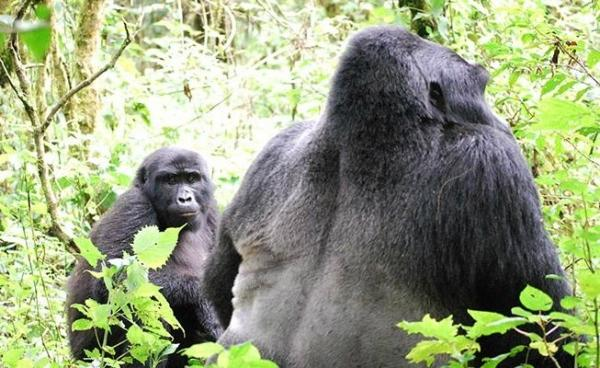 5-Day Chimp and Gorilla Trekking: Bwindi & Kibale National Forest