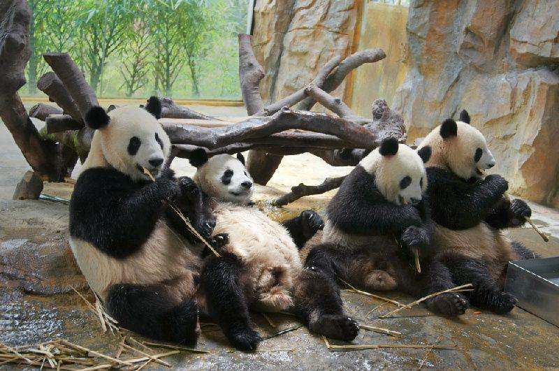 Private Panda Centre and Qingcheng Mountain Day Tour