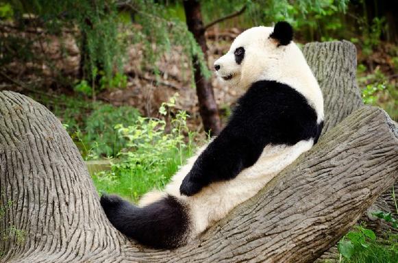 Chengdu Panda Experience