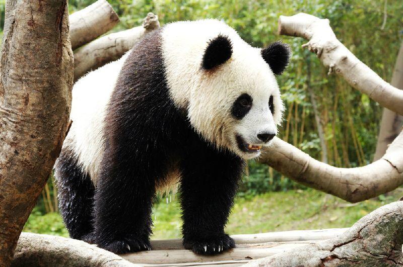 Visit to Chengdu Giant Panda Base
