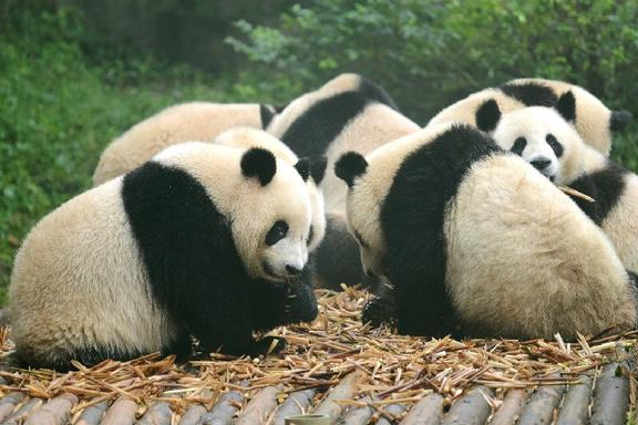 Private Chengdu Panda Base and Sichuan Cuisine Museum Tour