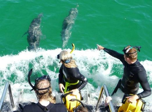 Swim With Wild Dolphins - From the Wellington St Tourist Coach Stand