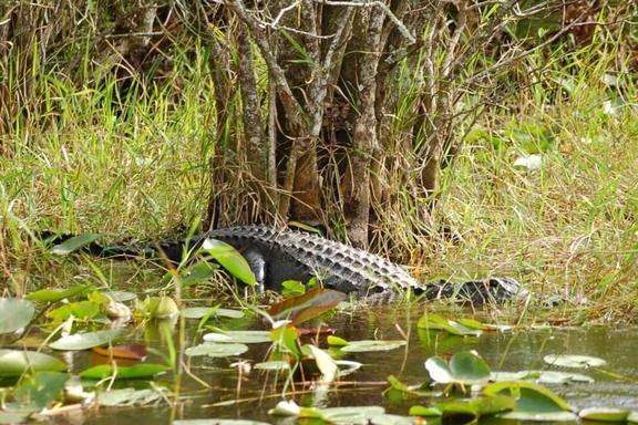 Everglades Airboat Adventure Tour W/ Transfers