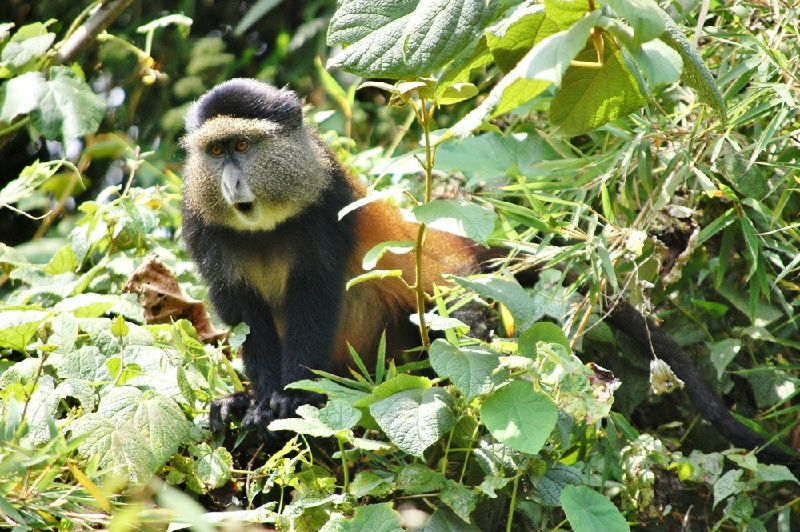 5-Day Gorilla and Golden Monkey Trekking