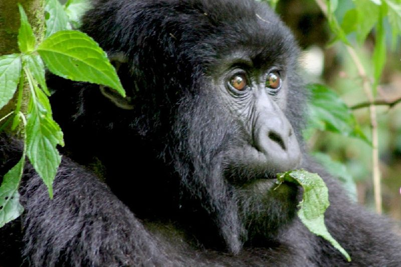 4-Day Rwanda Gorilla and Golden Monkey Trekking with Lake Kivu Adventure