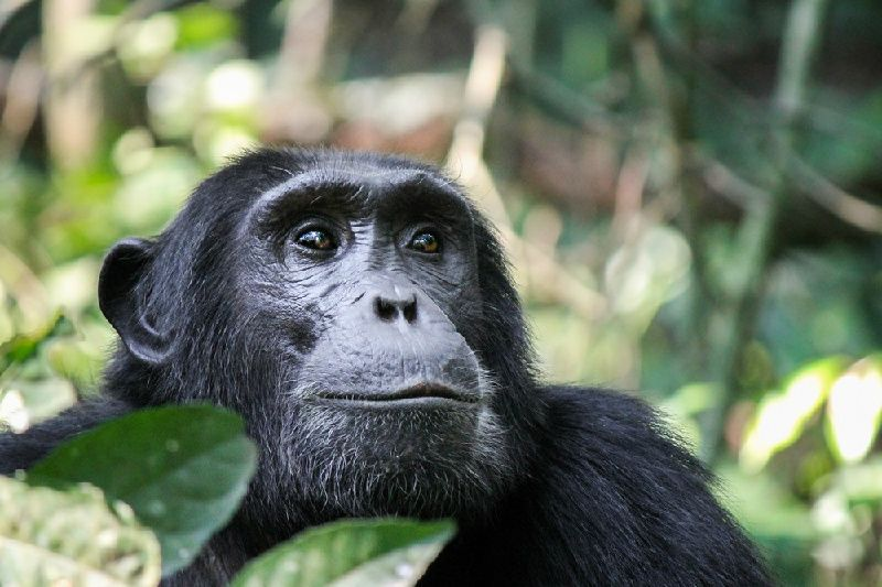 8-Day Kibale Forest & Queen Elizabeth Chimpanzee Tracking