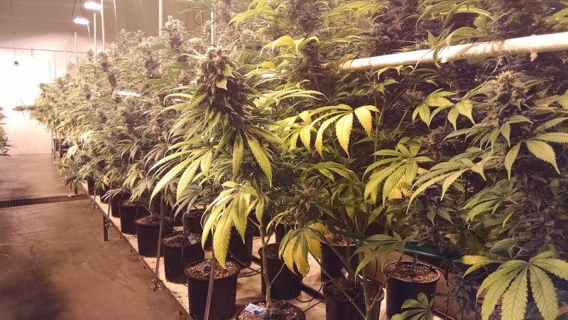 Private Denver Marijuana Tour
