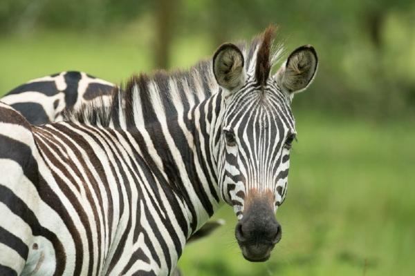 6-Day Uganda Safari: Kibale, Bwindi, & Lake Mburo National Park