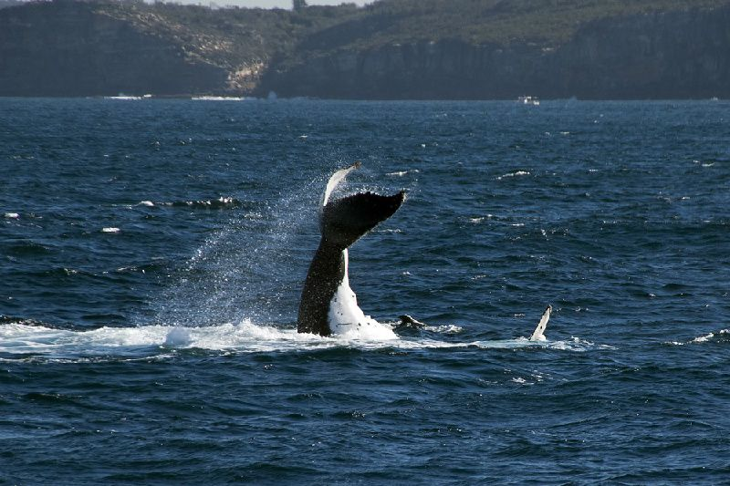 Sydney Harbour Cruises: Whale Watching Morning