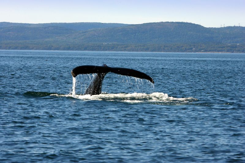 Whale Watching Cruise from Baie-Ste-Catherine & Tadoussac- Big Boat- Grand Fleuve